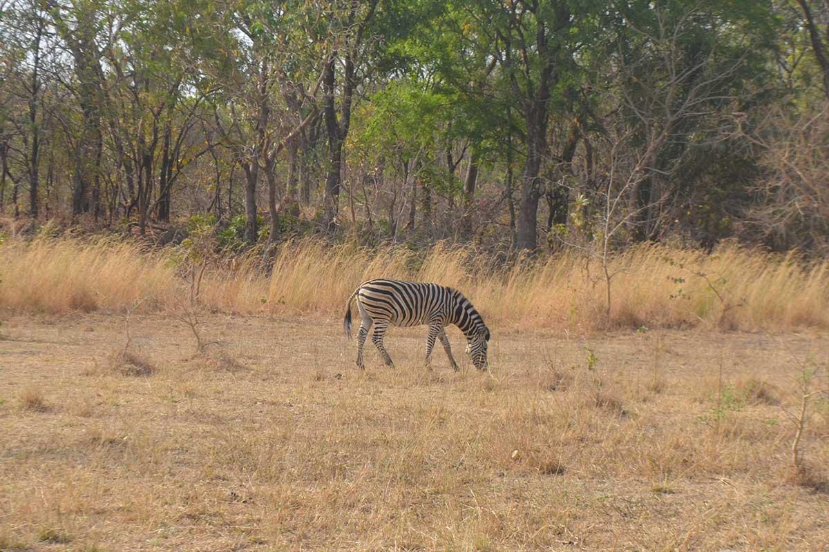 Zebra im Sarakawa Park